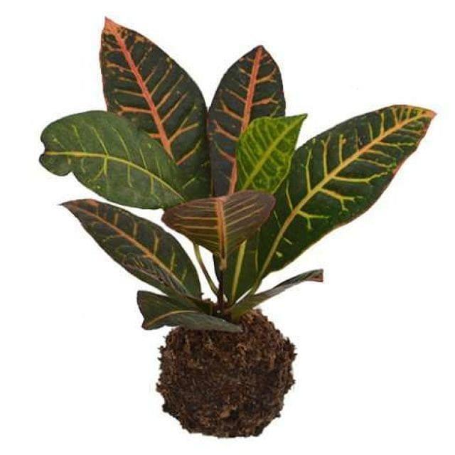 Croton kokedama