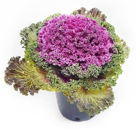 Flor del Coliflor