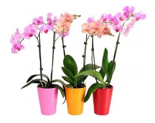 Orquidea maceta